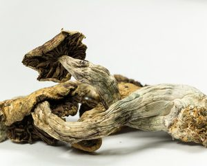 PSILOCYBE CUBENSIS (MAGIC MUSHROOMS)